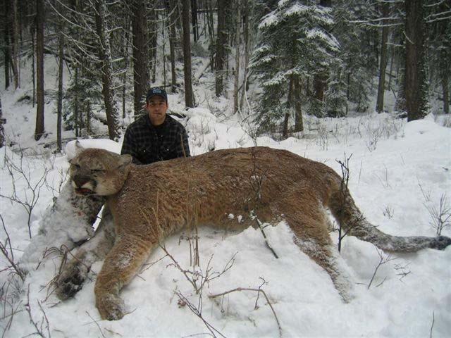 36435d1169622913 cougar hunting cougar5 copy