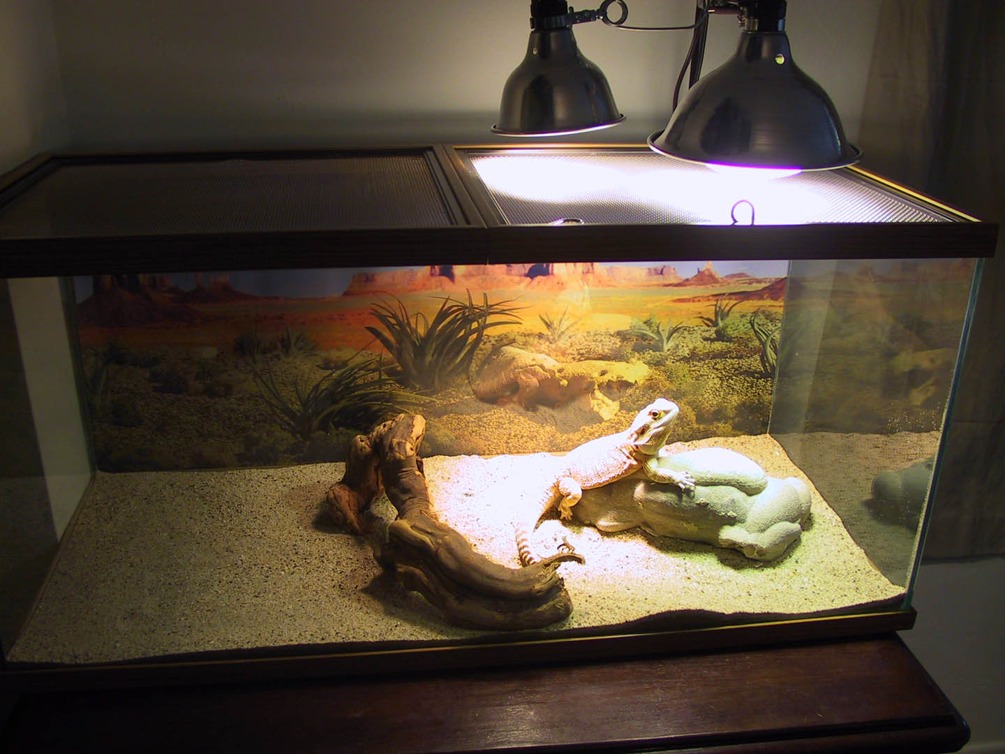 Care Sheet  Pet Bearded Dragon Care Facts amp Information